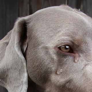 Porque choram os cães?